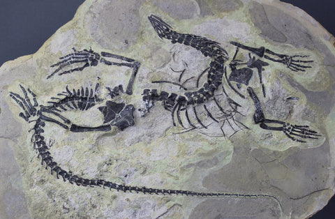 Fossil Reptile Skeleton For Sale Claudiosaurus Permian