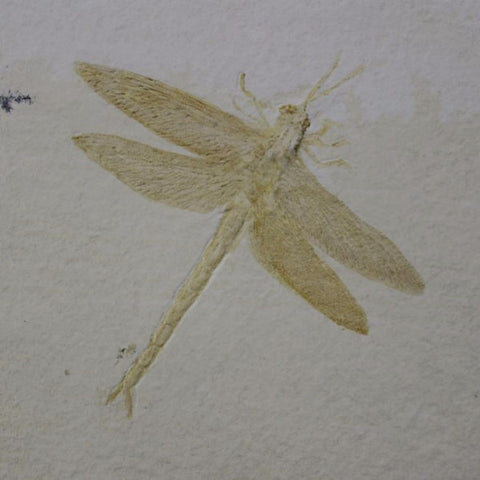 Insect Fossils for Sale: Fossil Dragonfly from Solnhofen, Germany - 4 inches