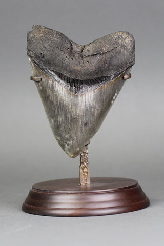 Huge Complete Megalodon Shark Tooth - 5 inches