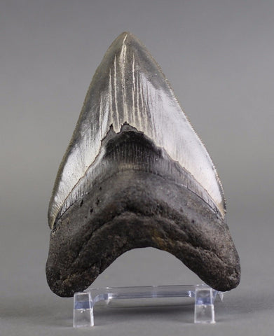 Complete Megalodon Shark Tooth, Large Specimen - 4.9 inches