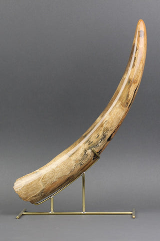 Amazing Mammoth Tusk from Siberia - 16.25 Inches long