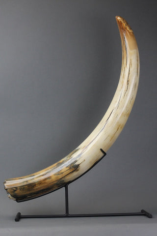 Amazing Mammoth Tusk from Siberia - 37.5 Inches long