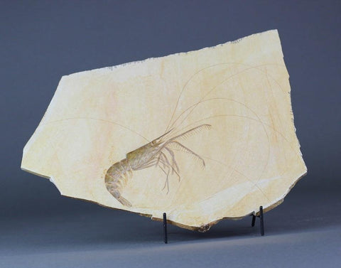 Fossil Shrimp from Solnhofen, Germany - Amazing Preservation