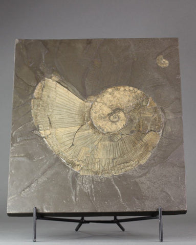 Pyritized Ammonites - Lytoceras and Dactyloceras - 20 lb