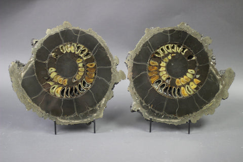 Sliced Ammonite Pair From Russia - Speetoniceras -  12.6""
