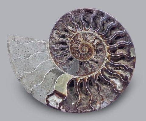 Cut and Polished Ammonite, Madagascar - 8.5 inches