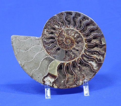 Ammonite Fossils for Sale: Cut and Polished Ammonite, Madagascar - 8.5 inches
