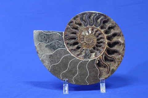 Ammonite Fossils for Sale: Cut and Polished Ammonite, Madagascar - 8.7 inches