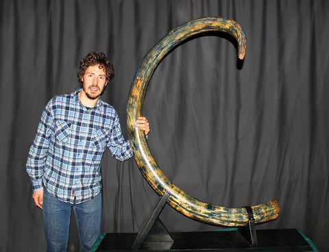 Gigantic Curvy Blue Mammoth Tusk from Alaska - 9.45 feet long!
