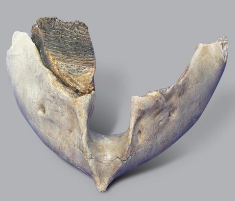 Incredible Woolly Mammoth Lower Jaw with M2 Molar Tooth