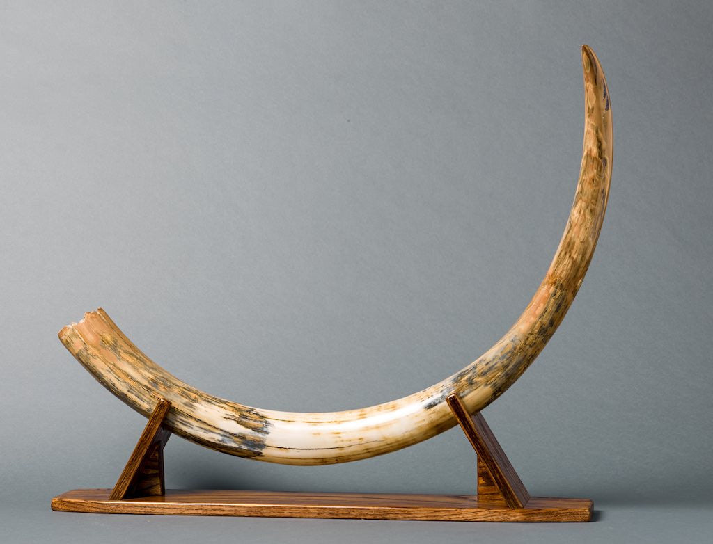 Spectacular Mammoth Tusk from Siberia - 3 83 feet long - Fossil Realm
