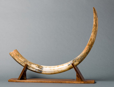 Fossils for Sale: Spectacular Mammoth Tusk from Siberia - 3.83 feet long!