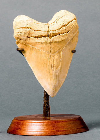 Megalodon Teeth for Sale: Collector Meg Tooth - Light Colour - 5.4 inches