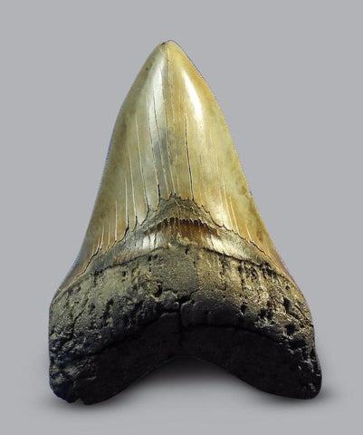 Complete Meg Tooth, Large Specimen - 5.1 inches