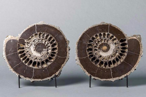 Ammonite Fossils for Sale: Spectacular Pyritized Ammonite Pair From Russia - 12 inches