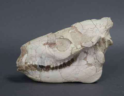 Large Oreodont Skull - 7.5 inches