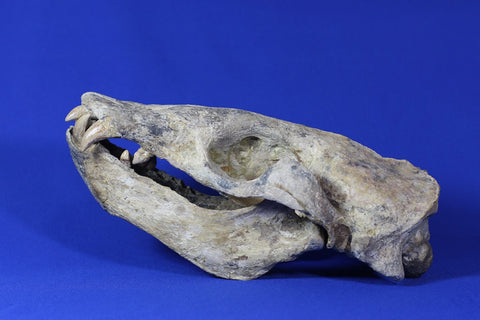 Superb Prehistoric Sea Lion Skull (Allodesmus) - Super Rare