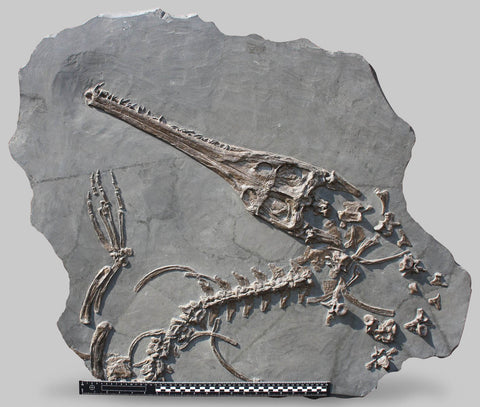 Marine Crocodile Skull and Partial Skeleton - Steneosaurus bollensis