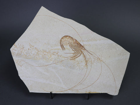 Fossil Shrimp from Solnhofen, Aeger spinipes - 9 inches