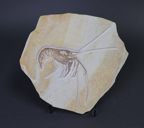 Large Fossil Shrimp from Solnhofen, Aeger - 7.5 inches