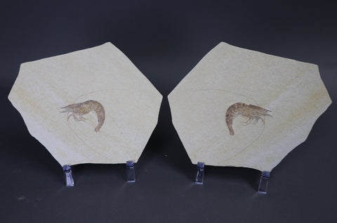 Fossil Shrimp Pair from Solnhofen, Antrimpos - 5.75 inches