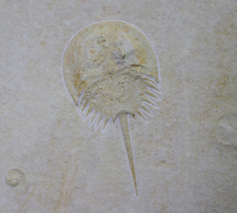 Horseshoe Crab from Solnhofen, Germany - 5.8 inches