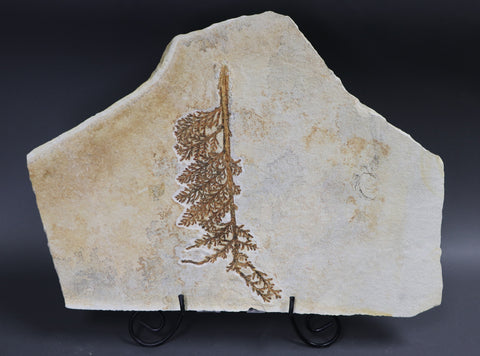 Fossil Plant from Solnhofen, Palaeocyparis - 14.5 inches