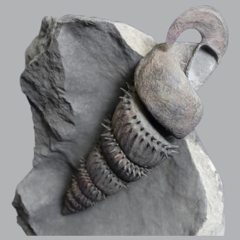 Spiny Helically-coiled Heteromorph Ammonite