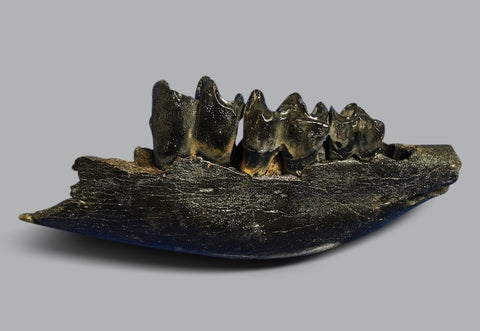 Rare Juvenile Woolly Rhino Jaw - 7.5 inches