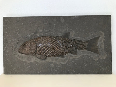 Rare Fossil Fish, Lepidotes elvensis - 26.7""