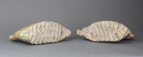 Pair of Beautiful Lower Woolly Mammoth Molars from Siberia - 7 inches