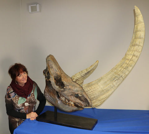 Spectacular Complete Woolly Rhino Skull