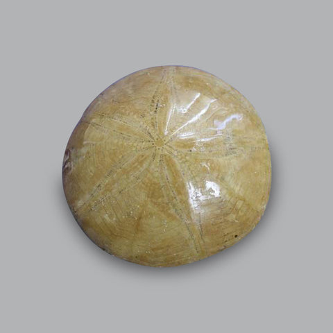 Fossil Sand Dollar (Sea Biscuit), Madagascar