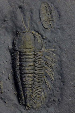 Eight Rare Pyritized Trilobites with Soft Body Parts