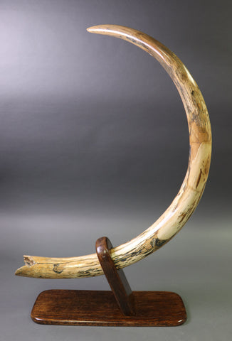 Curvy Mammoth Tusk, Siberia - 60 inches