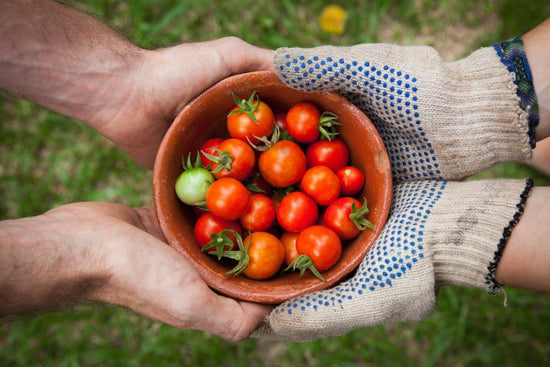 A pair of hands wearing gardening gloves passes a bowl of freshly picked seasonal cherry tomatoes to a pair of male hands.