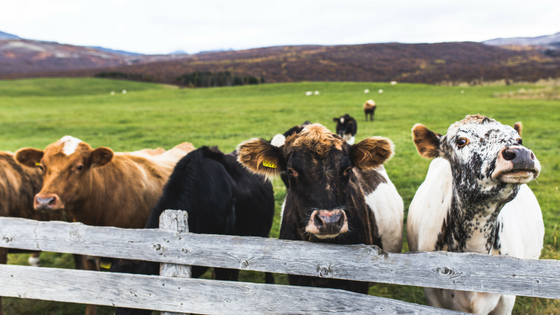 Four cows in a pastoral landscape with green grass line up against a wooden fence.