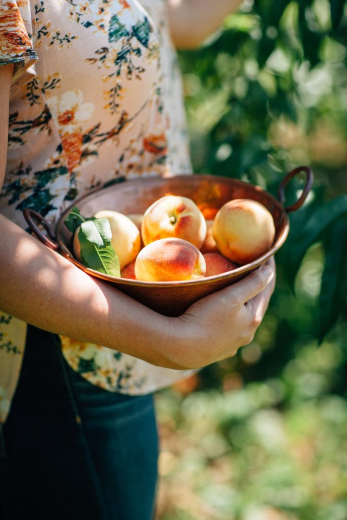 The torso of a young woman picks a peach from a tree while holding a brass bowl of freshly picked seasonal peaches.