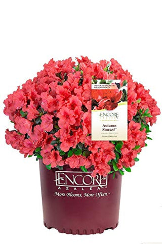 Azalea Encore Autumn Sunset (Reblooming Azalea) Shrub, RB red, #3 - Size Container