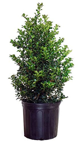 Ilex X rutzan 'Red Beauty' (Holly) Evergreen, #3 - Size Container