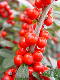 Ilex verticillata 'Red Sprite' (Winterberry) Shrub, XL red fruit, 3 - Size Container