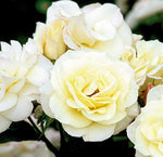 Easy Elegance Roses - Rosa Macys Pride (Rose) Rose, white flowers, #2 - Size Container