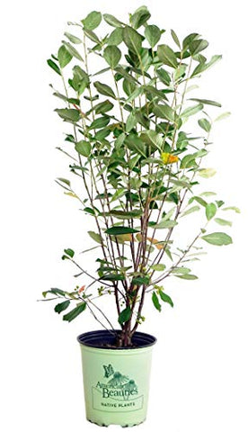 American Beauties Native Plants - Aronia arb. 'Brilliantissima' (Red Chokeberry) Shrub, white flowers, #2 - Size Container