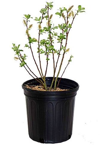 Salix discolor (Pussy Willow) Shrub, #2 - Size Container