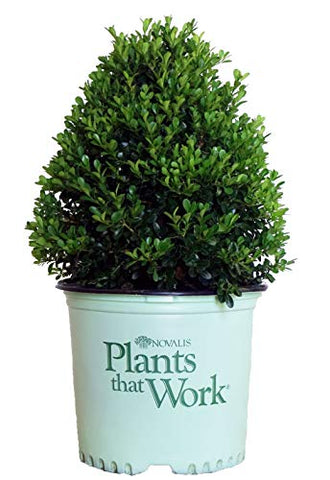 Plants That Work - Buxus 'Cranberry Creek' (Boxwood) Evergreen, , 3 - Size Container