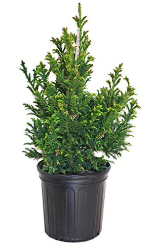 Cryptomeria Japonica 'Black Dragon' (Black Dragon Japanese Cedar) Evergreen, #3 - Size Container