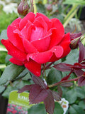 Knock Out Roses - Rosa Knock Out (Rose) Rose, red flowers, #3 - Size Container