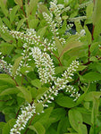 Proven Winners - Itea virginica Little Henry (Sweetspire) Shrub, , #2 - Size Container