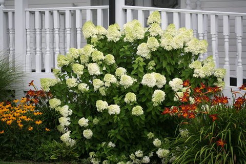 Proven Winners - Hydrangea pan. 'Limelight' (Panicle Hydrangea) Shrub, white/lime to pink flowers, #2 - Size Container