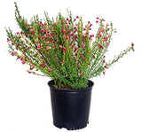 Cytisus sco. 'Burkwoodii' (Scotch Broom) Shrub, #3 - Size Container